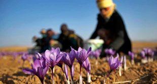 زعفران چهارمحال و بختیاری با برند دیگر استانها به فروش میرسد