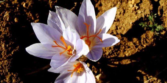 زعفران سفید آذربایجان غربی نیازمند برندسازی است