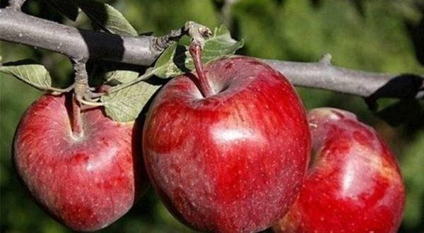 برندسازی سیب عامل موثر در بازاریابی و افزایش صادرات در آذربایجان غربی