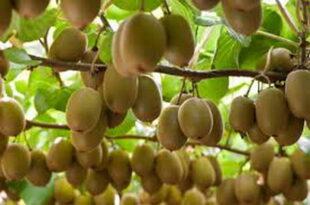 صادرات ۶۲۰ تن کیوی از ساری به کشورهای آسیایی