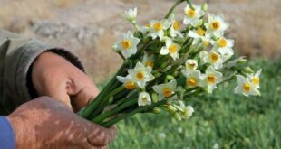 گل نرگس خوسف از ایران تا دبی