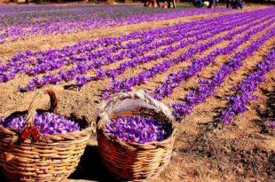 تولید زعفران برندسازی شده