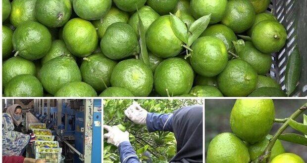 ضرورت برند سازی و معرفی محصولات کشاورزی در رودسر